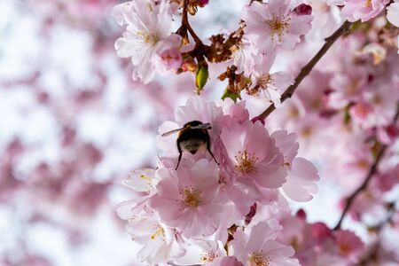 Bee is searching for nectar in blooming sakura flowers. One brief season moment in spring.