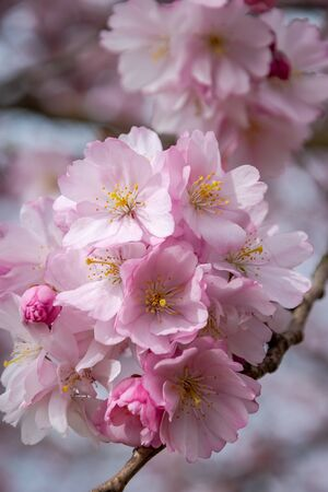 One brief season moment in spring time is the blooming of sakura tree. Banco de Imagens - 147052910