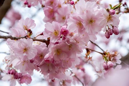 One brief season moment in spring time is the blooming of sakura tree. Banco de Imagens - 147053354