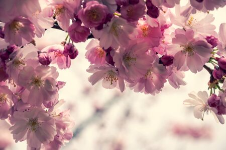One brief season moment in spring time is the blooming of sakura tree. Banco de Imagens - 147052760