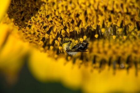 Bee is pollinating the sunflower and collects the nectar. Banco de Imagens