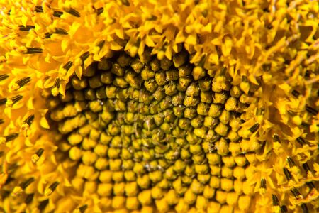 Close up view of sunflower in summertime.