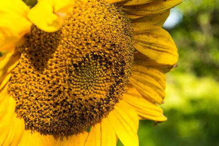 Close up view of sunflower in summertime. Banco de Imagens - 150478658