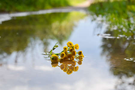Ripped off yellow flower lies in the enter of the puddle after rain.