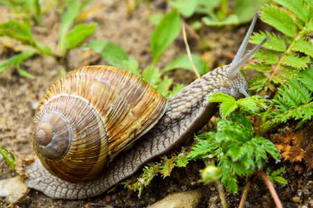 Big snail close up photo, that is trying to get somewhere. High quality photo Stok Fotoğraf