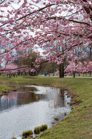 One brief season moment in spring time is the blooming of sakura tree in the park. Banco de Imagens