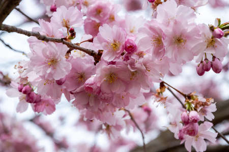 One brief season moment in spring time is the blooming of sakura tree. Banco de Imagens - 151075865