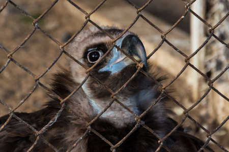 Wild and lonely griffin behind bars in the zoo. Banco de Imagens