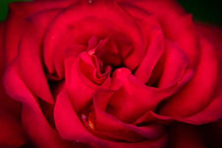 Macro shot of red rose. Wallpaper. Romantic, passion flower. Banco de Imagens - 151747695