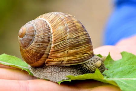 Big snail on the hand is hiding its eyes. Banco de Imagens