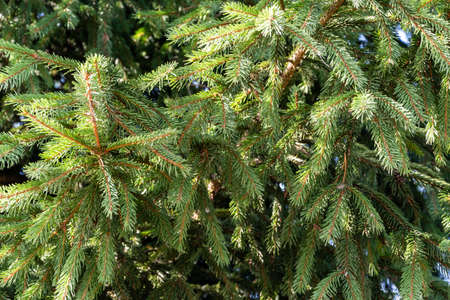 Fresh and green spruce tree branches. Variety of conifer trees.