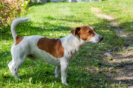 Jack Russell Terrier is looking up at something or someone.