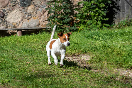 Running and curious cute Jack Russell Terrier.