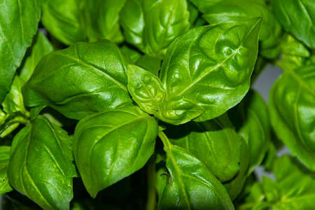 Close up of green and fresh basil leaves.