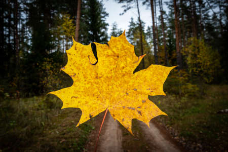 Yellow maple leaf on the forest background at autumn.