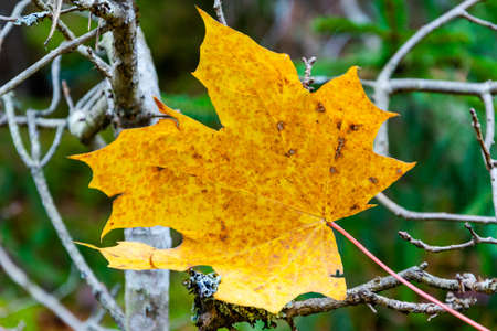 Yellow maple leaf on the dry bare branch in the forest at autumn. Banco de Imagens
