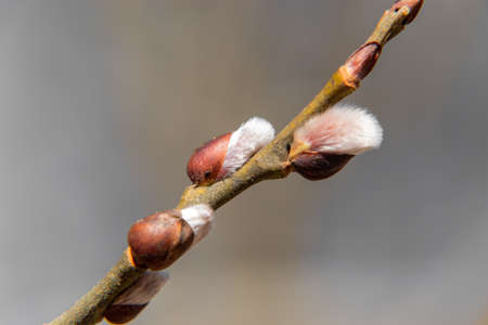 Close up of growing and blooming willow in the spring. Banco de Imagens