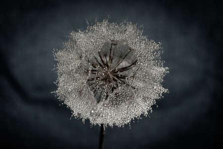 Dandelion with waterdrops on it in blue colour. Banco de Imagens