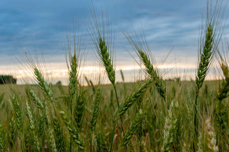 A ripening field of wheat on a sunset. Banco de Imagens