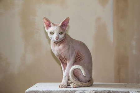 Sphinx hairless cat, hairless, anti-allergenic cat, pet against a painted wall. Beautiful cat with hairless skin.
