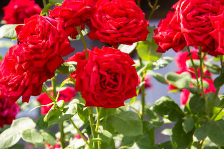 Red roses on bush. Red roses bushes blooming. Beautiful background from the roses.
