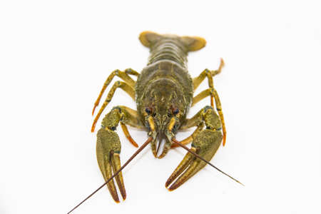 A fresh crayfish or lobster from the river on a white background.