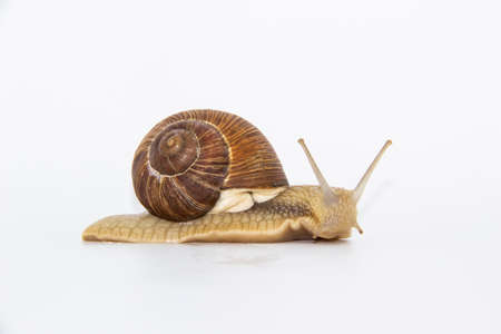 Snail on the white background. Snail moving forward against white background Archivio Fotografico