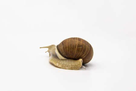 Beautiful grape snail isolated on a white background Imagens - 155666902