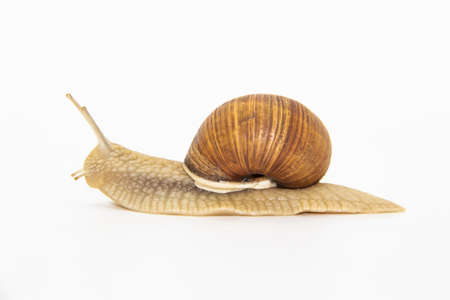 Beautiful grape snail isolated on a white background Archivio Fotografico