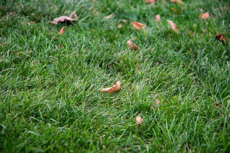 Dry leaves on the green grass. Autumn concept of fallen leaves on green grass Zdjęcie Seryjne