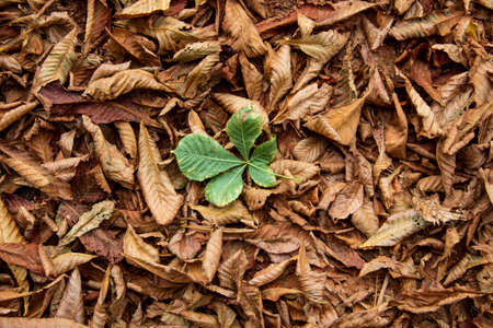 Dry leaves chestnut cover the ground. Nature of brown texture leaves. Texture of autumn leaves with one green leaf