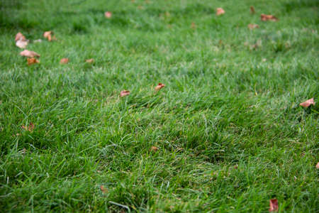 Dry leaves on the green grass. Autumn concept of fallen leaves on green grass Imagens