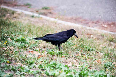 A Rook bird is walking and searching a food in the ground. Beautiful strong dark rook bird.