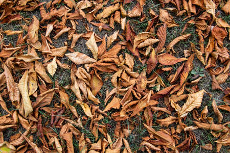 Dry leaves chestnut cover the ground. Nature of brown texture leaves. Texture of autumn leaves