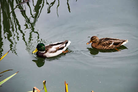 Duck and drake swim in the lake. The ducks is floating in the river and look for food. Imagens