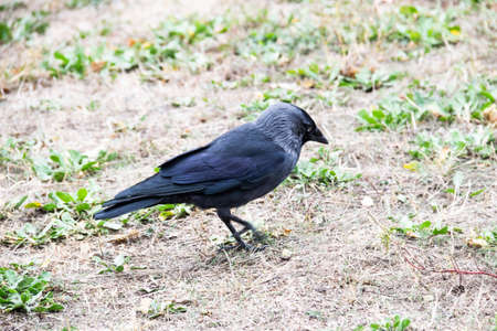 A jackdaw bird walks and searching a food. The jackdaw is walking on the ground at the autumn