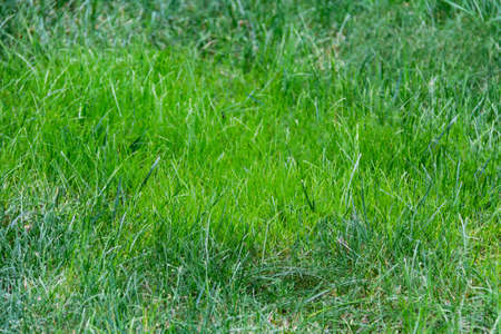Green grass texture background. Beautiful green grass for use in design