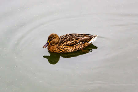 The Mallard duck or Anas platyrhynchos swim at the pond. Beautiful female duck in the water Imagens