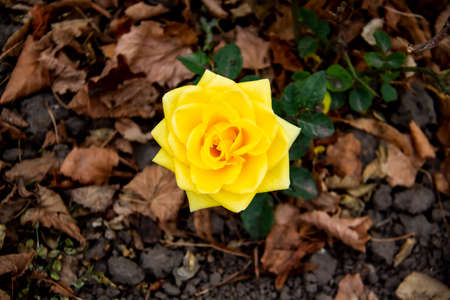 Beautiful yellow rose in the autumn garden. Yellow Rose Blooming against fall leaves on the background