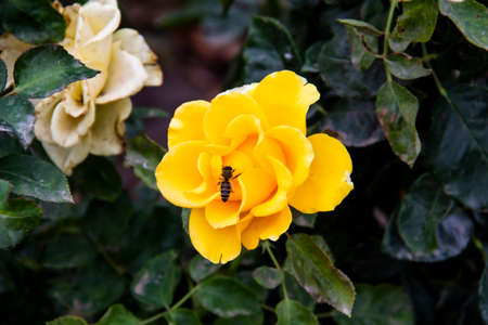 Beautiful yellow rose in the autumn garden. The bee sit on the yellow rose.