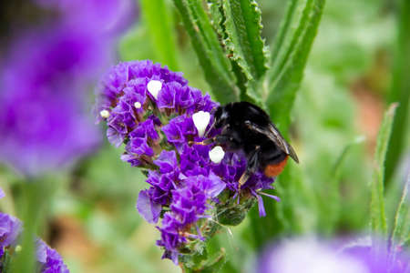 Beautiful flowers of Statice or Limonium sinuatum or Wavyleaf sea lavender. Small flowers with white and violet color with bumblebee on them.