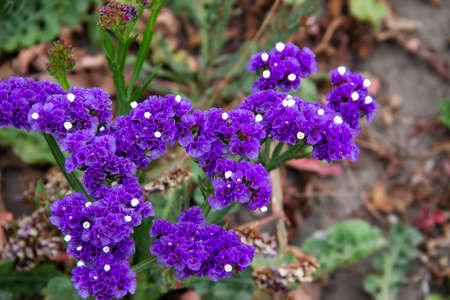 Beautiful flowers of Statice or Limonium sinuatum or Wavyleaf sea lavender. Small flowers with white and violet color.