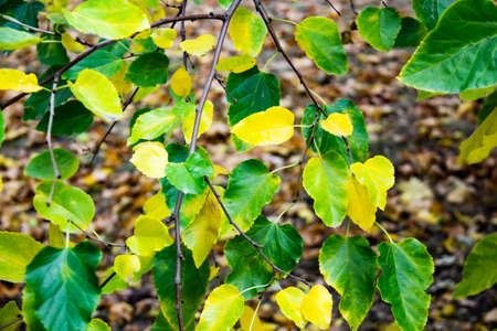 Colorful leaves on the tree can be used for background. Green and yellow leaves