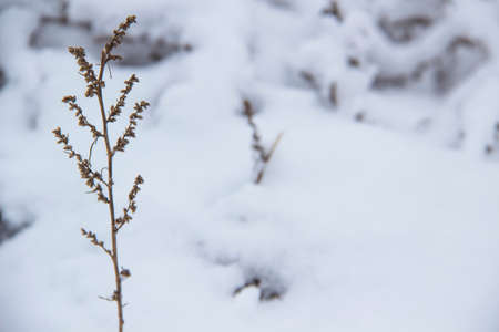 Beautiful winter background with grass and weeds frozen under the snow and frost. Dry plant branch in front