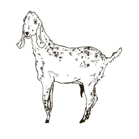 Vector image of Indian milky goat, goat giving milk. Hand drawn sketch for milk farm emblem.