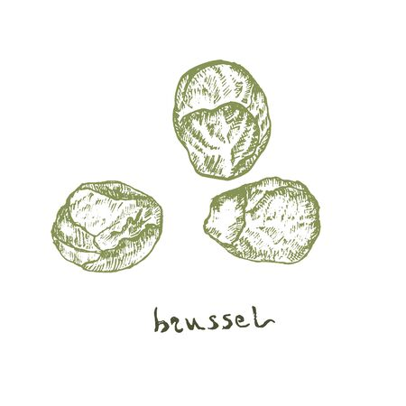 Brussel sprouts vegetables top view vector. Farmers market menu design. Organic vegetables food hand drawn sketch illustration. Linear graphic. Engraved style.