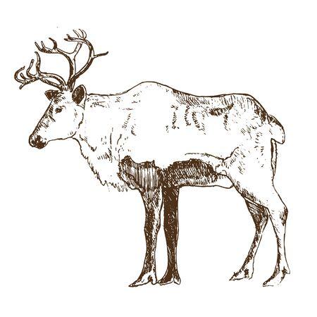 Reindeer engraving style, vintage vector illustration, hand drawn, sketch. Winter deer retro ink pen for christmas cards.