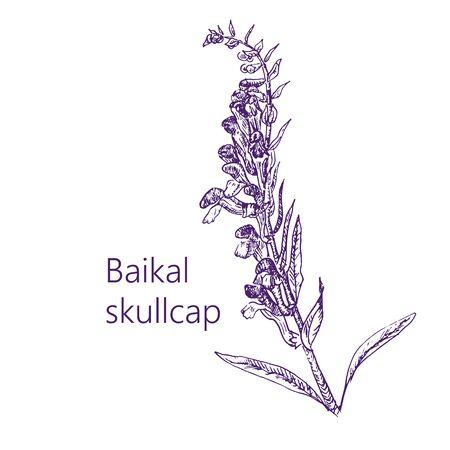 Baikal scullcup medical herbs collection of medicinal plants hand drawn vintage sketch vector illustration. 일러스트
