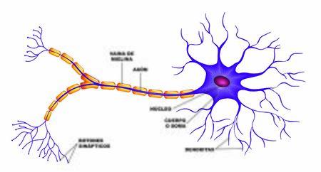 Parties du neurone dans le cerveau humain Vecteurs