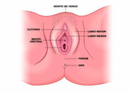 Vulva female external genital apparatus